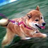 柴犬のLOTO6で1等ねらえ!